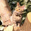 中京区|京都ひょう猫の森へ行ってきた!|新京極通りにベンガル猫カフェができたって本当?
